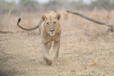 Lions too frequent the South Luangwa but tend to concentrate on larger game
