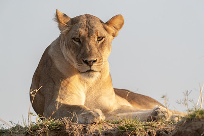 Lions are also there watching and waiting for the opportune moment