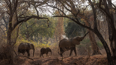 Elephants here are frequently seen in the woods in contrast to the open plains of Kenya and Tanzania