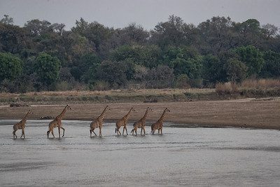 Giraffes too can be found in good numbers often crossing back and forth across the river
