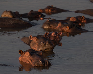 As the river level decreases in the dry season the hippos congregate in ever larger groups