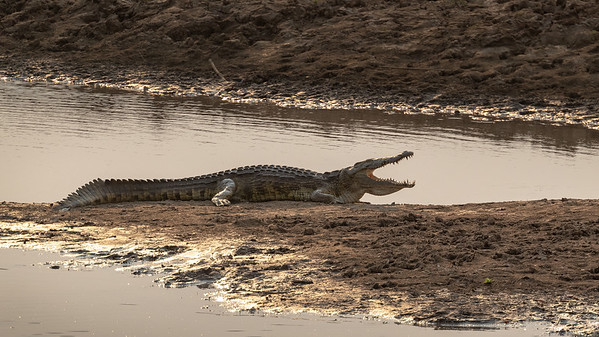 Crocodiles too are concentrated by the lower water levels but they seem to be thriving nonetheless