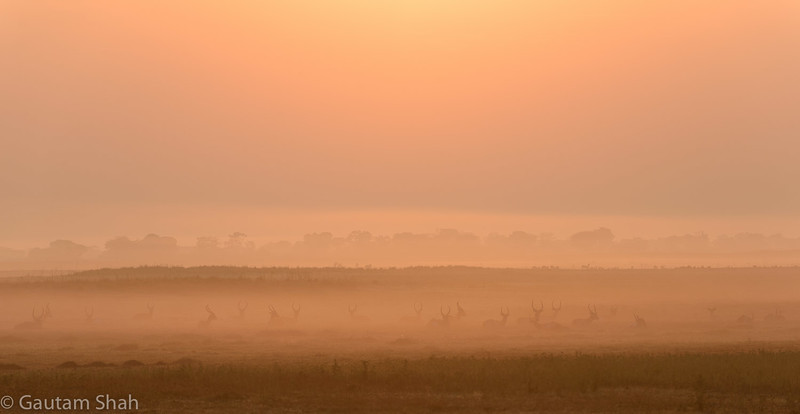Red Lechwe at sunrise - Busanga Plains - Kafue National Park