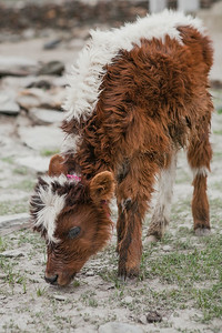 A tiny calf grazes in the open, something that can only be done in summer in Zanskar valley. Zanskar one of the remotest valleys in India. In the winter months the entire valley of Zanskar is covered in snow. Unlike in the plains, the cattle here have a thick coat of fur for some warmth.