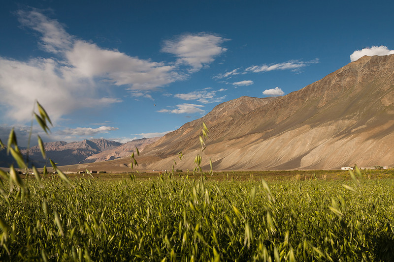 Barley fields in Padum, Zanskar, India