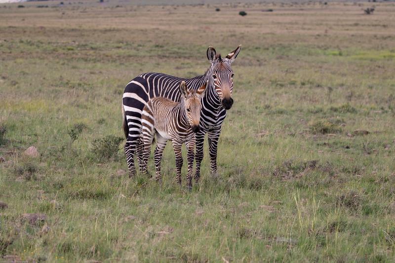 Cape Mountain Zebra