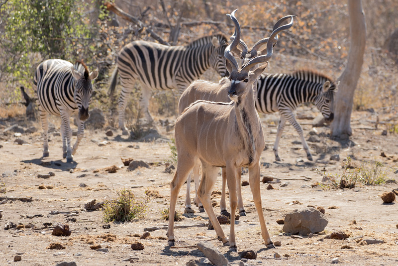 Kudu and Plains Zebra