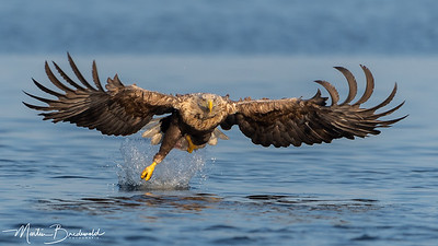 White Tailed Eagle - Zeearend