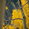 Aspens in fall 01