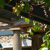 Pompeii grape vines