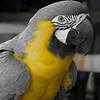B & W Macaw
