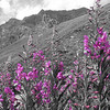 B & W purple wild flowers