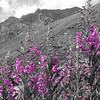 B & W purple wild flowers