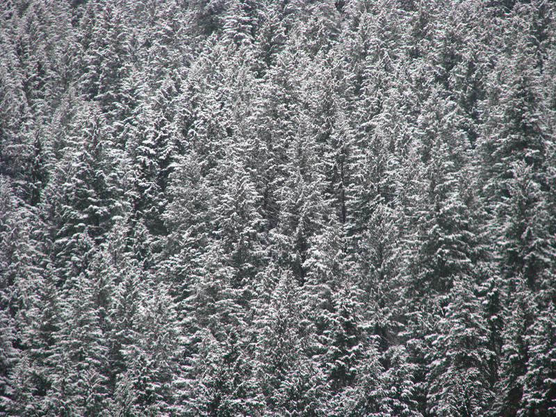 Evergreen trees in winter 02