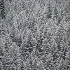 Evergreen trees in winter 01