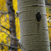 Aspens in fall 02