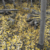 Aspens in fall 04