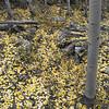 Aspens in fall 04