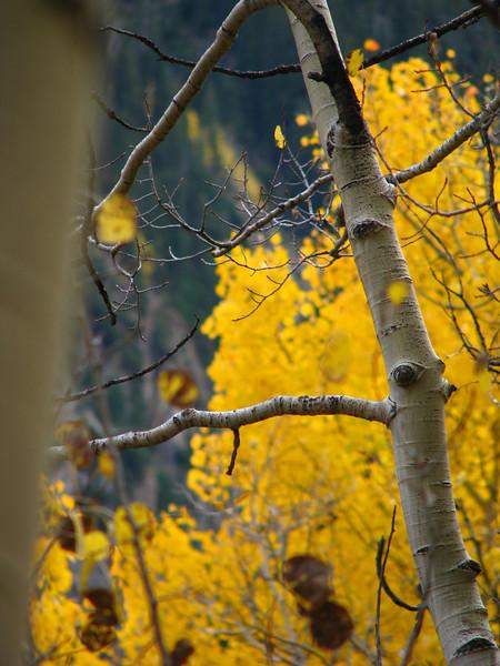 Aspens in fall 01