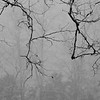 Tree Branches in Fog