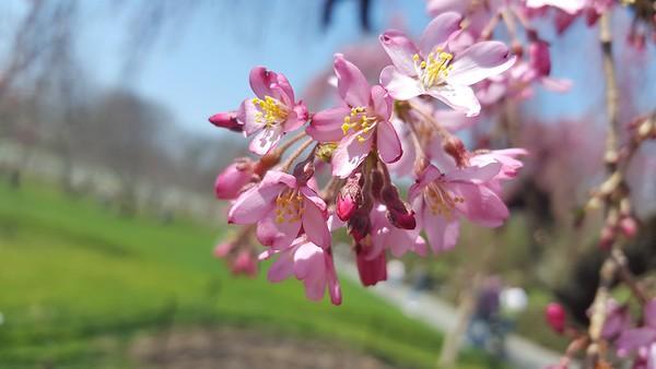 Brooklyn Botanic Garden 04_14_18