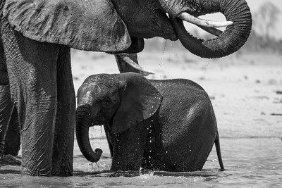 Elephant bath time, Hwange