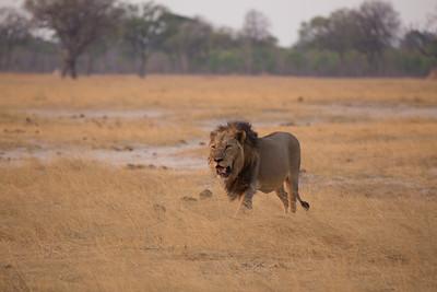 Male lion in Hwange