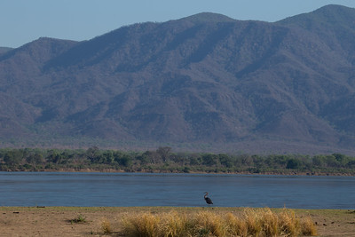 Goliath Heron and the escarpment, Mana Pools