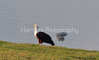 Attempted ambush, but ....   the Fish Eagle was no dummy and flew away