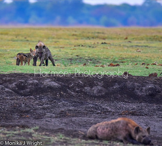 Unusual to see this jackal and hyena together.