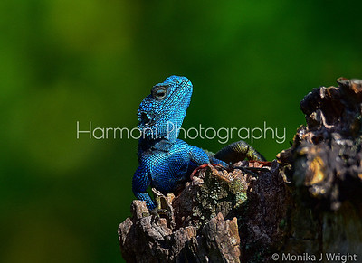 Blue Headed Agama