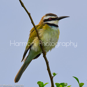 White throated bee eater