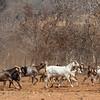 Village goats