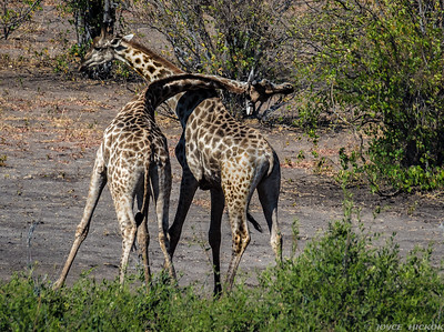 Giraffes Necking (fighting)