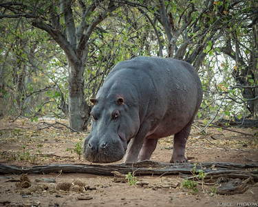 Early bird catches Hippo rarely out of water.