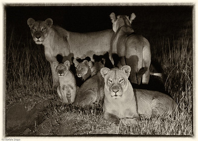 Family of lions caught in a spotlight near camp.