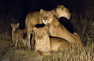 Family of lions caught in a spotlight near camp, checking ALL directions !