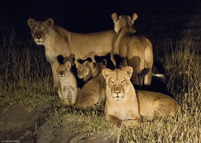 Family of lions caught in a spotlight near camp, checking ALL directions..