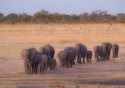A family of elephants coming to the waterhole in the evening.