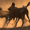 African Wild Dogs kick up dust at sunset, Mana Pools National Park