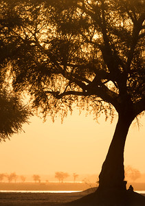 Acacia tree and baboon at sunset, Mana Pools National Park
