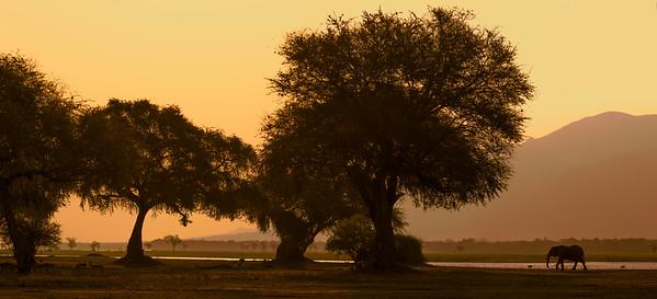 Elephant on the banks of the Zambezi River, Mana Pools National Park