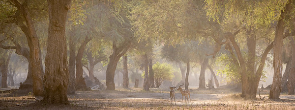 Impala bucks in morning forest, Mana Pools National Park