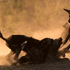 African Wild Dog pups play-fighting, Mana Pools National Park