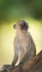 Vervet Monkey pondering options, Mana Pools National Park