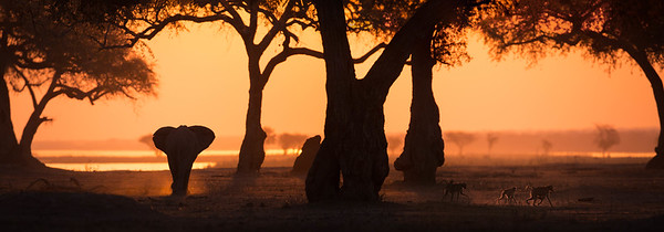 Elephant under Winter Thorn Acacia trees, Mana Pools National Park