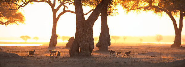 Baboon family foraging on the Zambezi flood plain at sunset, Mana Pools National Park