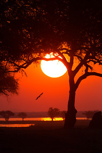 Eagle and setting sun, Mana Pools National Park