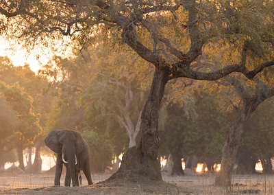 Solitary elephant bull in evening light, Mana Pools National Park