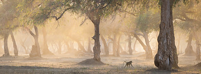 Baboon in soft morning light, Mana Pools National Park